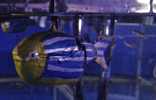 robotic zebrafish in tank